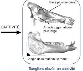 Communiqué : Mesurer l'effet de la captivité et de la domestication sur la morphologie osseuse des sangliers